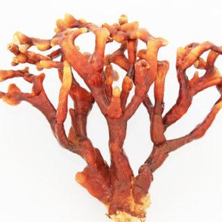 phytogram REISHI MUSHROOM