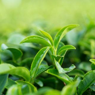 phytogram GREEN TEA